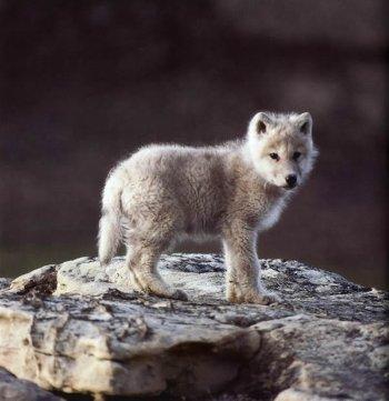 petit loup