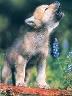 bebe loup